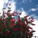 """Gutes Zeichen, wenn der """"Pohutukawa tree"""" blüht!"""