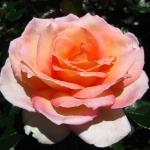 Unser Besuch auf dem Rose Garden Festival in Parnell.