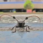 Käfer mit Cheerleader Ausstattung
