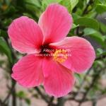 Pink Hibiscus aus Brunei