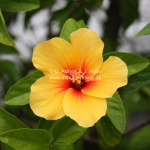 Yellow Hibiscus in Brunei