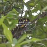 Treesnake in Bandar Seri Begawan / Brunei