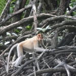 Proboscis Monkeys / Nasenaffen