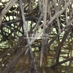 Mangrovenwurzeln