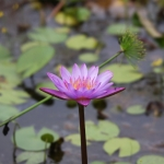 Eine Seerose / Lotusblume