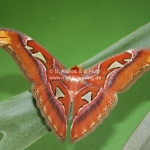 Attacus Atlas Motte