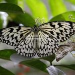 Exotische Schmetterlinge aus Malaysia