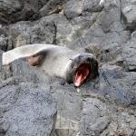 Eine Neuseeländische Seerobbe erwacht vom Nickerchen
