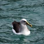 Der Molly Mawk ist der kleine Cousin des Albatrosses...
