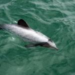 Sogar die seltenen Hector-Delphine, die nur um Neuseeland leben, kamen zum Boot!!!