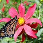 ... und 3 wunderschöne Schmetterlinge lassen sich blicken und uns an den Kameras ausfreaken...