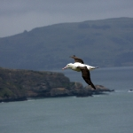 Und hier haben wir ihn nun endlich: den Royal Albatross!!!