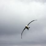 Ein riesiger Vogel mit einer Flugelspannweite von bis zu 3 m!!!