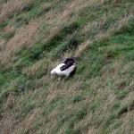 Der Albatross klappt seine langen Flügel über 2 Ellenbogen ein