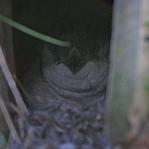 Ein kleiner Blue Penguin schaut aus seinem Häuschen