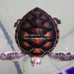 Turtle Sanctuary in Cherating