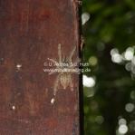 Riesen Tarantel im Taman Negara National Park