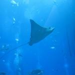 Ein Rochen fliegt durch das Aquarium vom Palm Atlantis Hotel