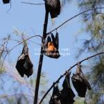 Fledermäuse auf Pulau Tioman