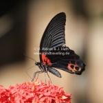 Schmetterling auf Pulau Tioman