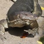 Watermonitor Lizard auf Pulau Tioman