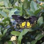 Großartiger Schmetterling auf Pulau Tioman