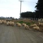 Eine Schafherde aug der Straße