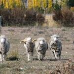 Susie, der Schäferhund zeigt uns wie man Schafe zusammen treibt