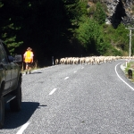 Und wieder jagen wir die Schafe die Straße hinunter