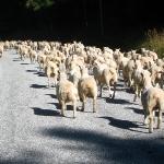 Frieren frischgeschorene Schafe eigentlich?