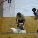 Die Schafscheer- Show