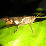 Grasshopper by night
