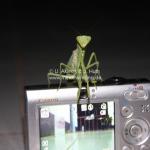 Die kämpfende Gottesanbeterin mit den coolen moves erkämpft sich unsere Kamera!