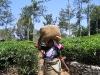 Tee Plantage in Munnar