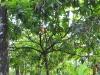 Kakao am Baum