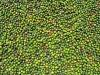 Grüner Pfeffer trocknet in der Sonne