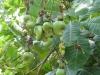 Cashewnüsse am Baum