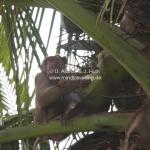 Der Affe holt die Kokusnüsse vom Baum