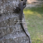 Lizard auf Pulau Perhentian