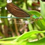 Die Libelle kratz sich am Kopf