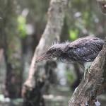 Ein Vogel auf der Jagd im Mekong Delta / Vietnam