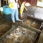 Eine Fischfarm unter dem schwimmenden Haus in Chau Doc / Mekong Delta / Vietnam