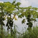 Kleine Papayabäume.