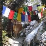Die heilige Kuh und die Gebetsfahnen