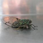 Das ist eine herkömmlich Zikade, diese kleinen Insekten können Ohrenbetäubend schrill singen
