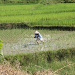 Reisfeld bei Phonsavan / Laos