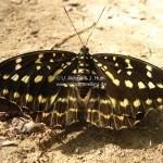 Ein Prachtexemplar von einem Schmetterling