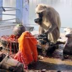 Ein Affe ist die Opfergaben auf... in Pushkar