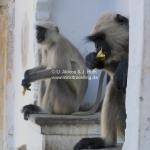 Affen am Pushkar See