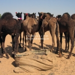 Kamele auf der Camel Fair in Pushkar